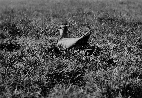 Lapwing by Morrey Salmon - His first photograph of a nesting bird in 1909